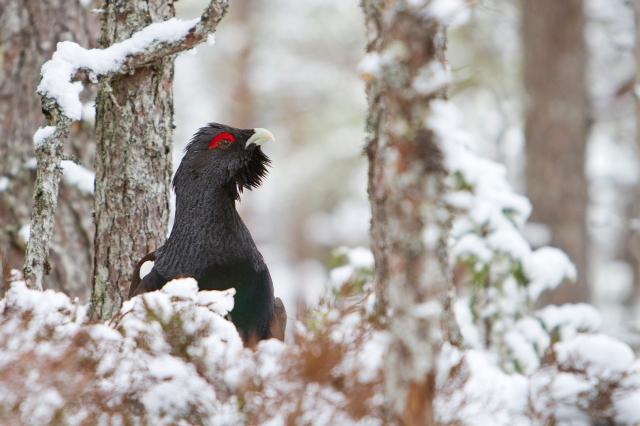 Tiur i vinterskog. 39 poeng. © Magnar Lien