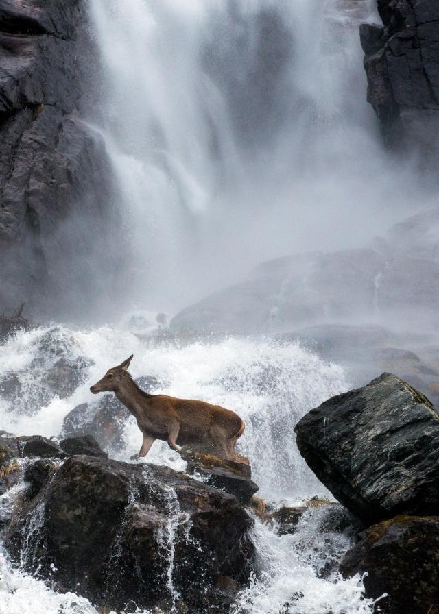 Hjort i foss. Gull. © Vegard Lødøen