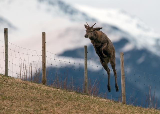 Hjortehopp. 43 poeng. © Vegard Lødøen