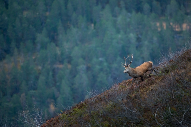 Kronhjort på farten.. Gull. © Arne K. Mala