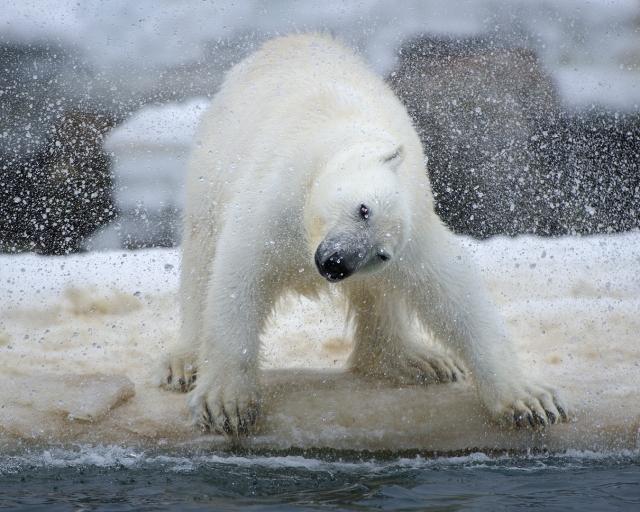 Isbjørn rister pelsen. Gull. © Arne K. Mala
