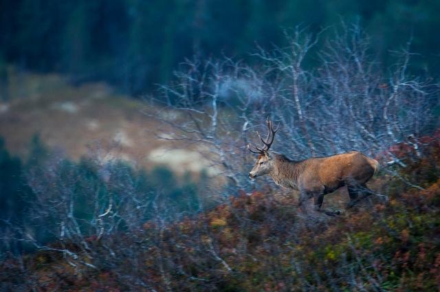 Panorert hjort. Gull. © Arne K. Mala