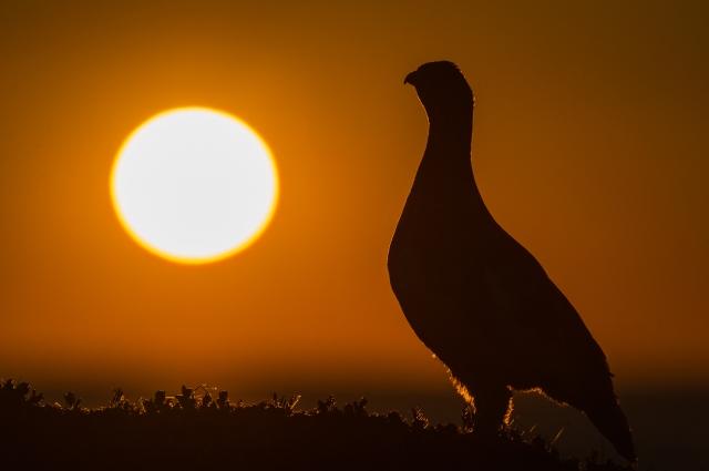 Kongen på haugen (Lirype). Gull. © Ketil Olsen