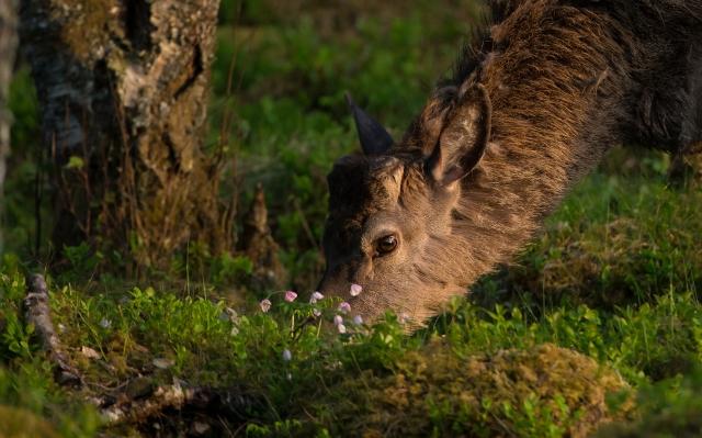 Hjorten og hvitveisen. 39 poeng. © Bernt Østhus