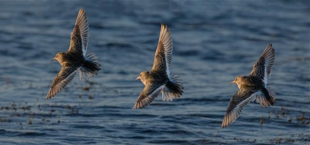 Synkronflyvere (fjæreplytter). Gull. © Bernt Østhus
