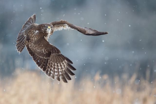 Musvåk. Gull. © Halvor Roe