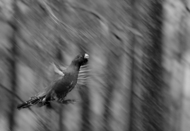 Trollfugl. 44 poeng. © Tor Jan Salte