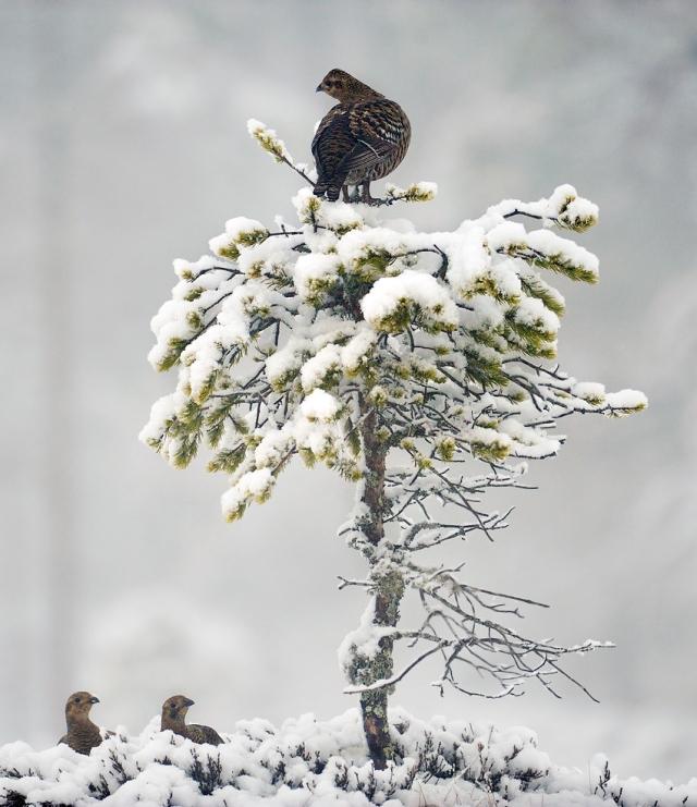 Tre orrhøner. Gull. © Marius Schjelderup-Høye