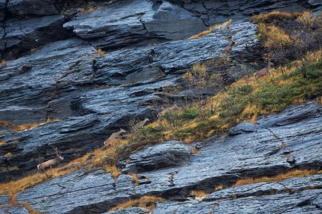 Hjorter på fjellhylle. Gull. © Rolf Selvik