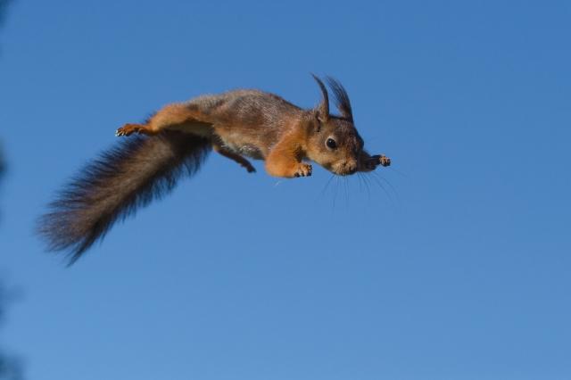 Flygende Ekorn. Gull. © Rolf Selvik