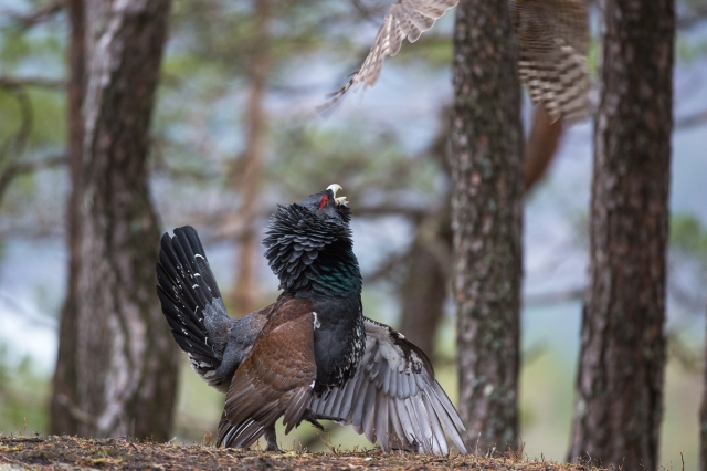 Hauk over Tiur. 42 poeng. © Rolf Selvik