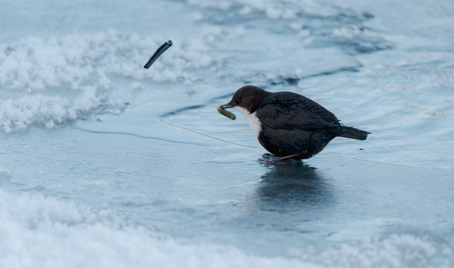 Dipper with lunch (fossekall). 42 poeng. © Liz Vinger