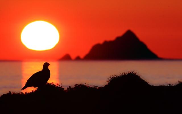Midnattsrype. Gull. © Audun Rikardsen