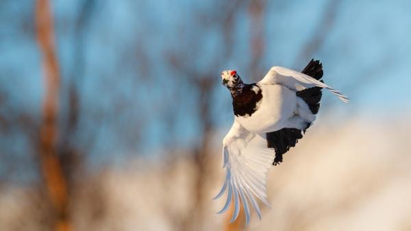 Lirypestegg. Gull. © Espen Bergersen