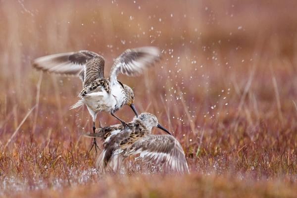 Kurtiserende myrsniper. 41 poeng. © Espen Bergersen