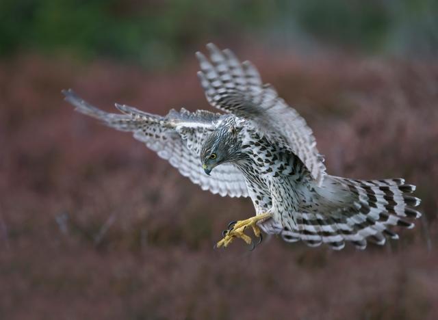 Inn for landing. Gull. © Bjørn Aksel Bjerke