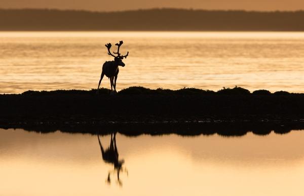 Reinsbukk i motlys. 41 poeng. © Ivar Isaksen