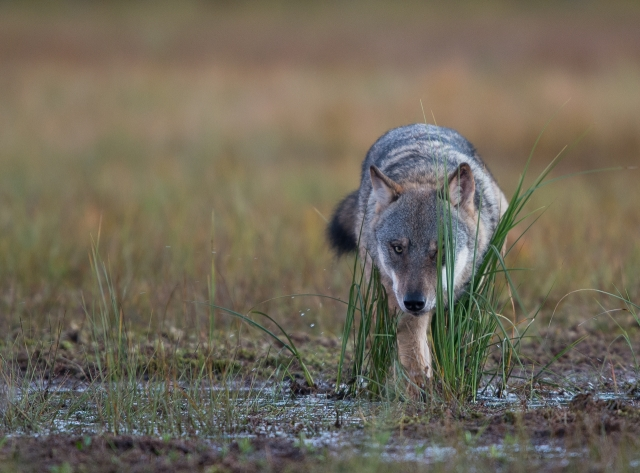 Snikende ulv. Gull. © Arnt Ove Jøsang