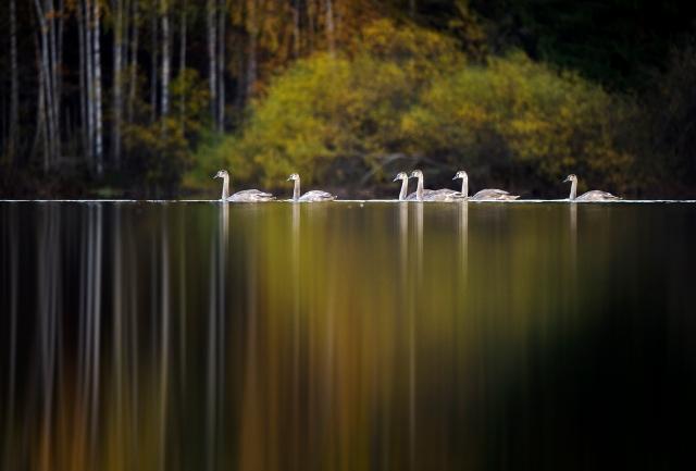 Svaneidyll. Gull. © Kai Jensen