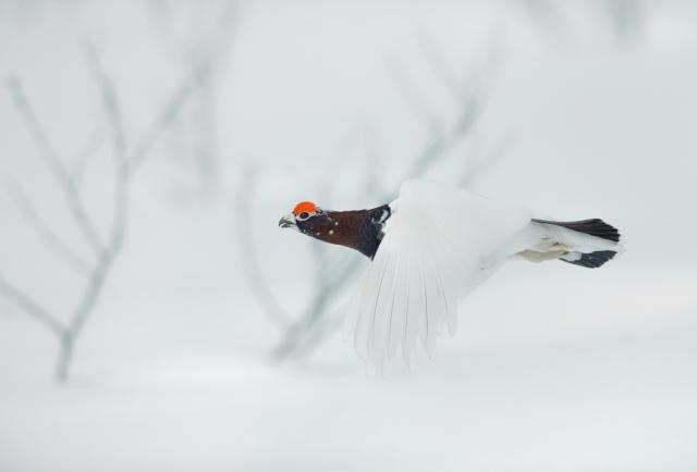 Lirypeflukt. 41 poeng. © Ruben Johnsen