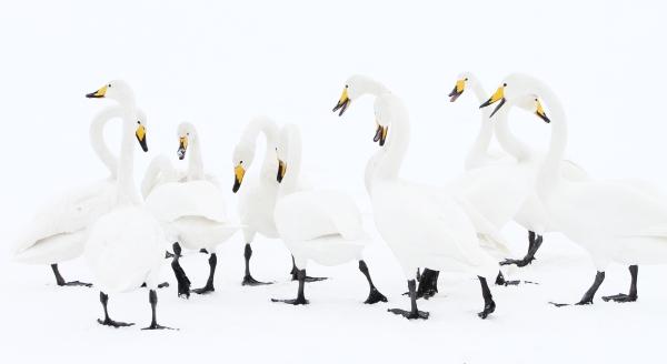Sangsvaner. Gull. © Rune Karlsen