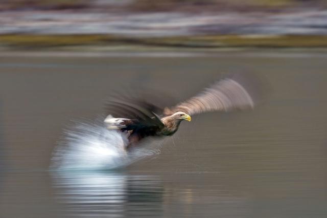 Havørn. Gull. © Vegard Lødøen