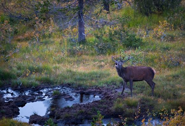 Brølende hjort i brunstgrop. 44 poeng. © Arne K. Mala