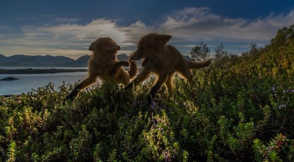 Rødrev i motlys.  44 poeng. © Ketil Olsen