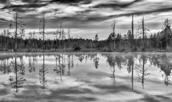 Vandrer langs vannet (bjørn). Gull. © Jan R. Olsen