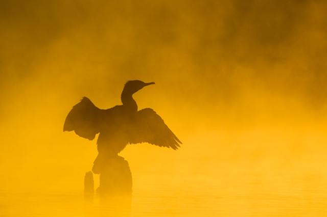 Skarv i frostrøyk. © Trond Hovland Olsen