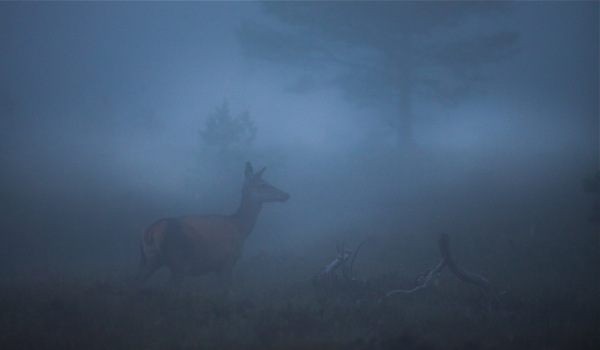 Hjort i blå tåke. Gull. © Bernt Østhus