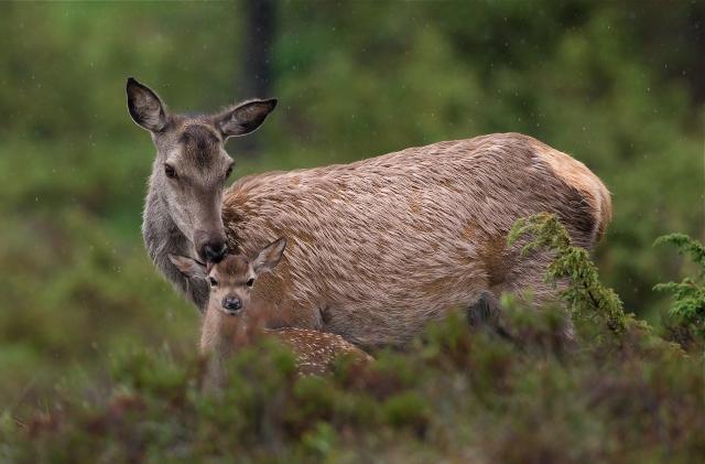 Stolt hjortemamma. Gull. © Bernt Østhus