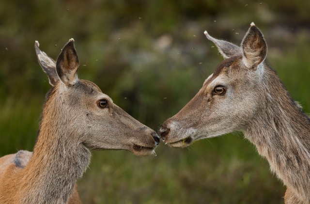 Hjortekoller i myggsky. 41 poeng. © Bernt Østhus
