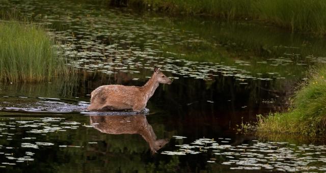 Vadende hjort. Gull.  © Bernt Østhus