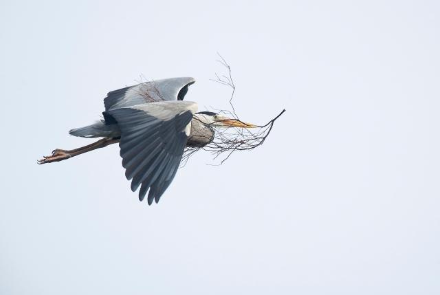 Gråhegra med kvisten. Gull. © Duy Ahn Pham