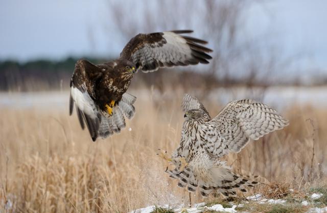 Fuck off (Musvåk og Hønsehauk). Gull. © Thor Jan Salte