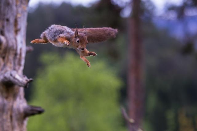 Fra tre til tre, Ekorn. Gull. © Rolf Selvik
