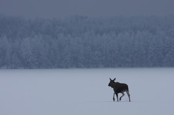 Elg. 42 poeng. © Fredrik Stige