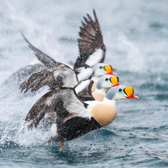 Trio fantastico - praktærfugl. Gull. © Espen Bergersen