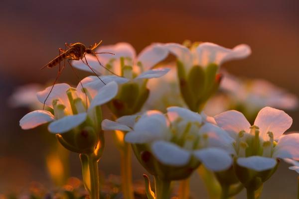 Mygg og fjellpryd. 42 poeng. © Arne Hugdal