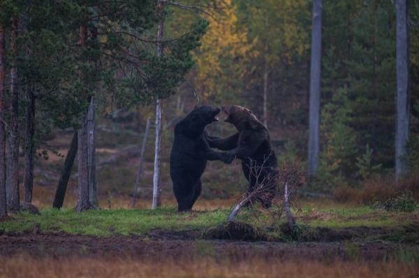 Bjørner i kamp. 44 poeng. © Arnt Ove Jøsang