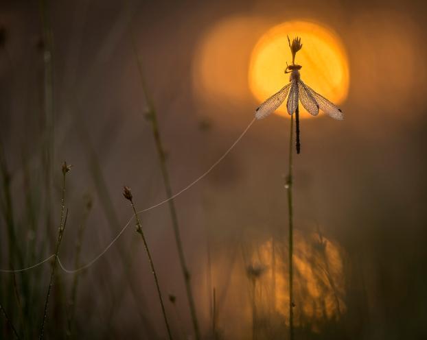 Øyenstikker. Gull. © Kai Jensen