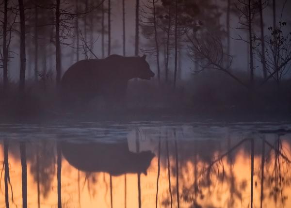 Bjørn i tåke med speiling. 44 poeng. © Magnar Lien
