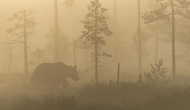 Bjørn i tåke og morgensol. Gull. © Svein Ove Linde