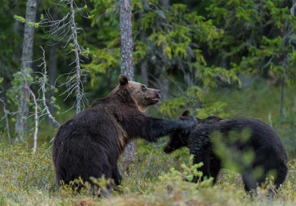 Kameratslag mellom bjørner. 43 poeng. © Svein Ove Linde