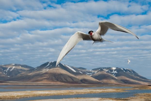 Terne. Gull. © Vegard Lødøen