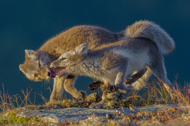 Revekamp. Gull. © Vegard Lødøen