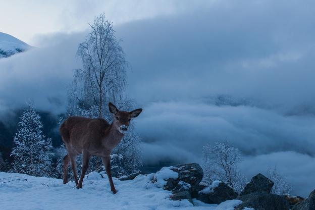 Hjort. Gull. © Vegard Lødøen