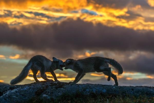 Fjellrever. Gull. © Vegard Lødøen