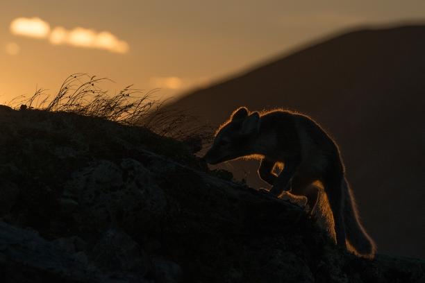 Rev i motlys. 44 poeng. © Vegard Lødøen